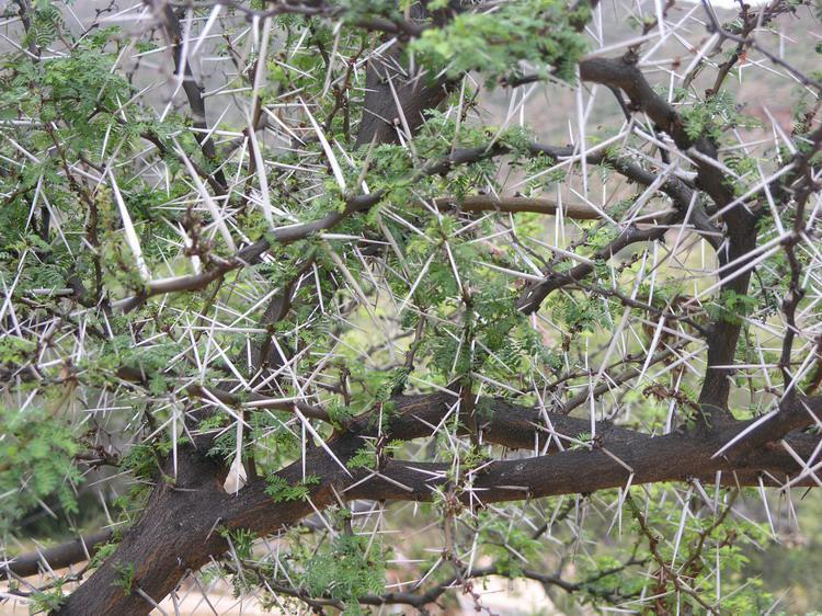 Acacia Karroo Karroo Thorn Sweet Thorn שיטה חד קרנית The
