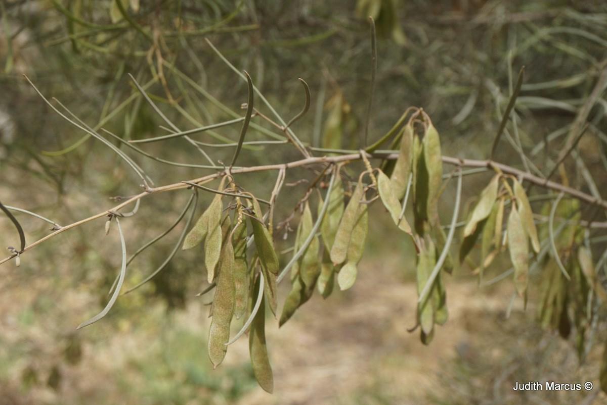 Acacia Aneura Var Microcarpa שיטת המולגה זו קטן פרות The